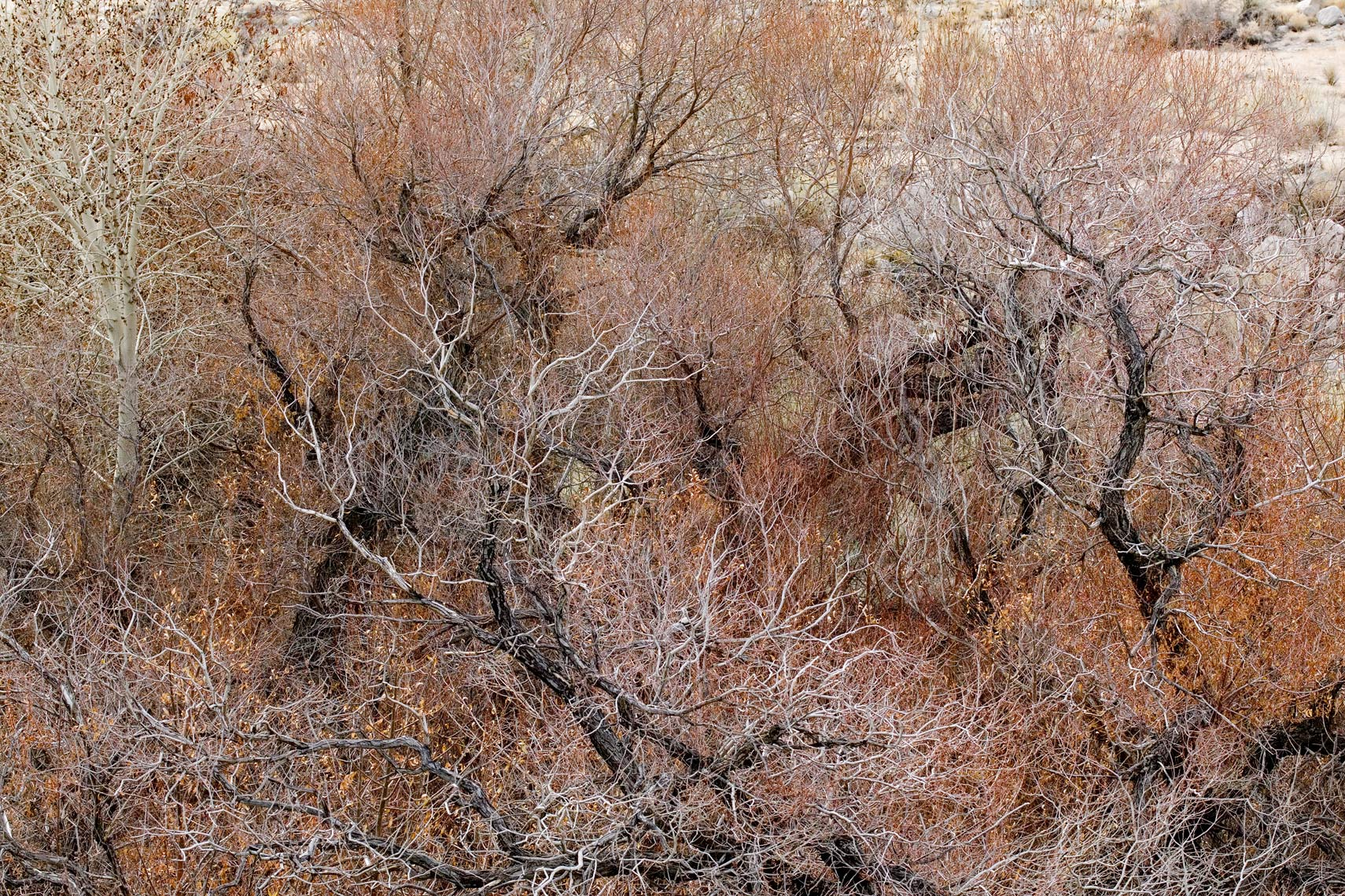 Branches Detail - Eastern Sierras